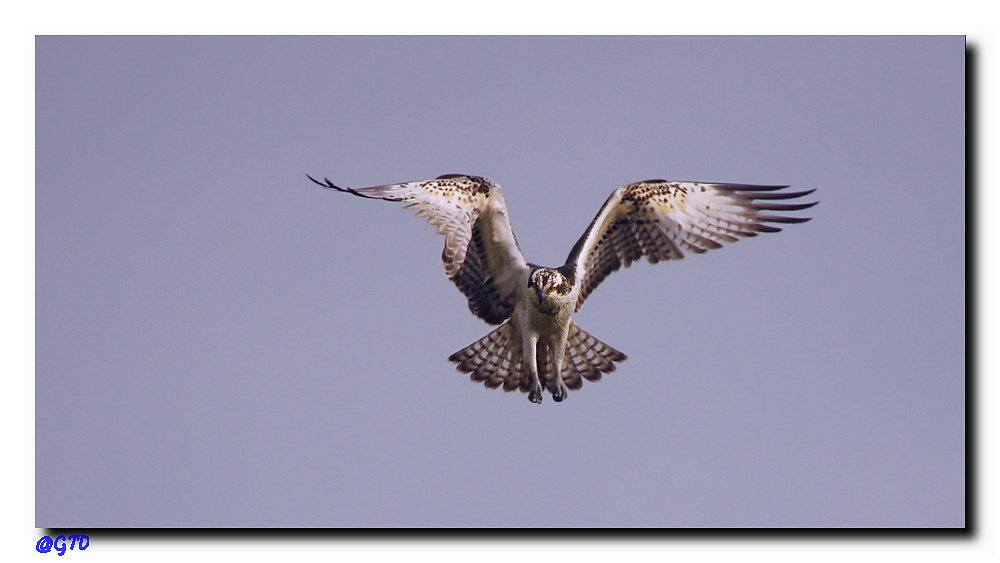 Fischadler im Rüttelflug