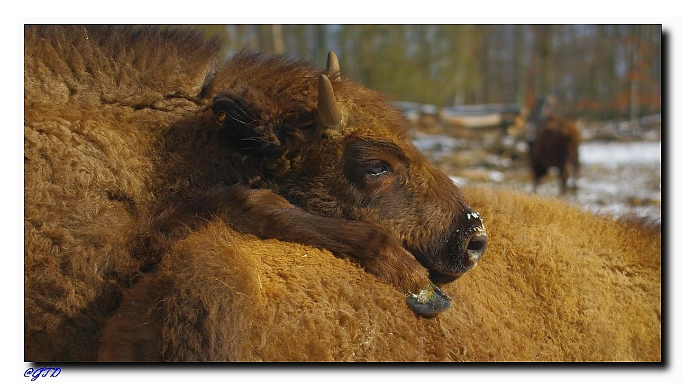 Junges Wisent