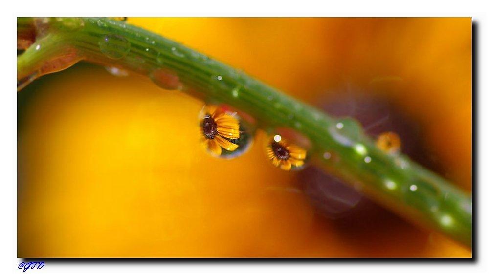 Ringelblume im Wassertropfen
