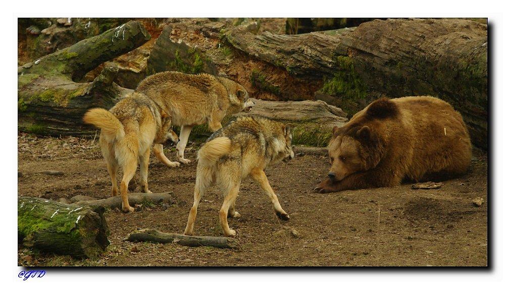 Wolfsrudel gegen Bärin