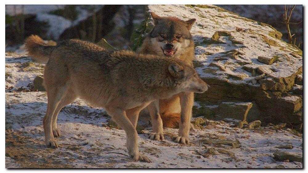 Wolfsgehabe